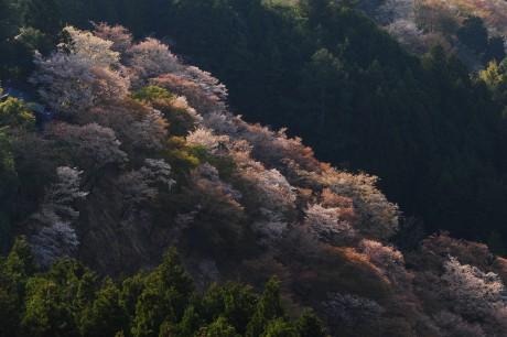 2013吉野山櫻花|余文輝醫師攝影作品|日本世界文化遺產